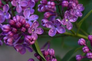 macro, branch, flowers, lilac, drops, water