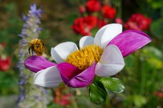 nature, summer, flower, Dahlia, bee, macro