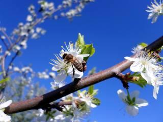 bee, Apple, May