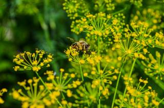 nature, macro, insect, summer, bee, dill