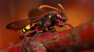 бджоли, шершень, крила