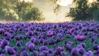 příroda, krajina, léto, pole, цветы маки, ráno, mlha