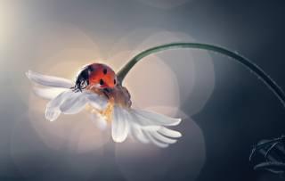 makro, příroda, květina, heřmánek, hmyz, beruška, brouk, boke