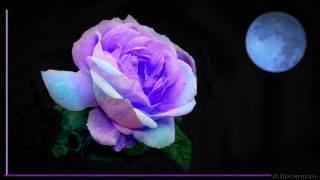 rose, petals, light, the moon