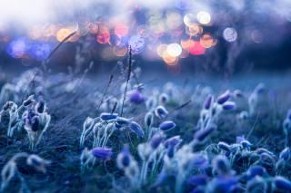 природа, весна, цветы, первоцветы, сон-трава, анемоны, утро, рассвет, боке