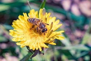 dandelion, bee, spring