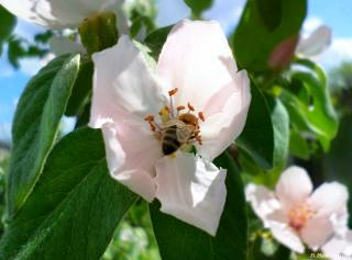 Quince, bee, May