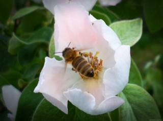 bee, May, Quince