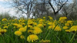 spring, nature, dandelions