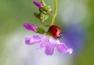 макро, природа, цветок, бутоны, жук, божья коровка