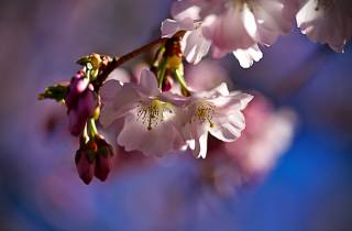 nature, spring, flowering, branch, cherry, flowers