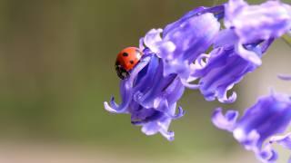 природа, цветы, Колокольчики, жук, божья коровка, макро