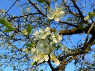 April, plum, blooms