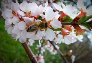 Апрель, цветение, пчела