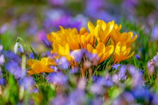 крокусы, цветы, боке, весна