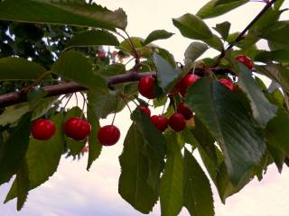 cherry, branch, June