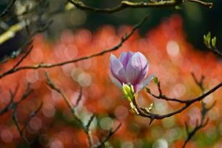 природа, весна, ветки, цветок, магнолия, почки, листочки, боке