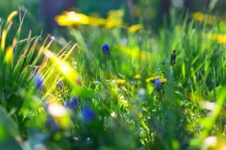 grass, dandelions, flowers, blue flowers, macro