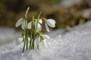 природа, весна, снег, первоцветы, цветы, подснежники