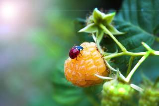 природа, ветка, ягоды, малина, божья коровка, макро