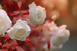 růže, voda, kapky, makro, фотограф Katrin Suroleiska