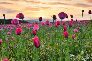 природа, літо, поле, квіти, маки, ромашки, небо, захід