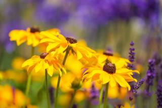 nature, summer, flowers, lavender, rudbeckia