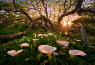 природа, дерево, полянка, квіти, настурція, Калли, сонце, промені