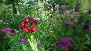 цветы, цветок, гвоздика, размытость