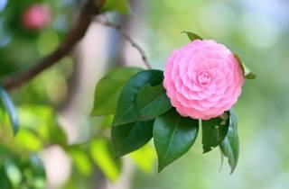 природа, ветка, листья, цветок, камелия