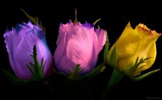 троянди, підсвічування, колір