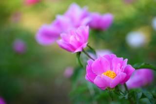 природа, цветы, Пионы, лесные пионы, боке, макро