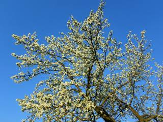 plum, flowering, April