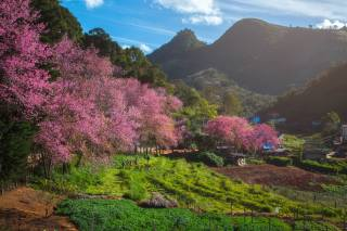 Thailand, spring, mountains, field, flowering trees, Fang City, nature
