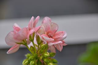 flowers, pink, petals