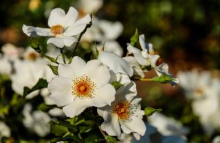 квіти, цвітіння, листя, пелюстки, шипшина