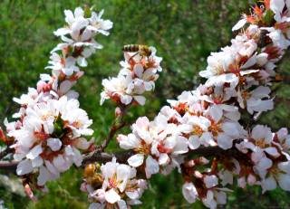 cherry, Chinese, bee, spring