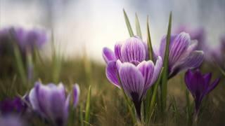 purple, crocuses, petals