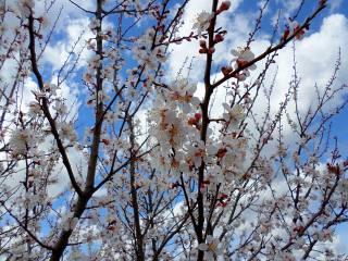 apricot, flowering, April