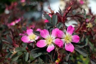 flowers, petals, briar, pink, Bush, flowers, petals, briar, pink, bush