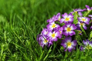 primrose, grass