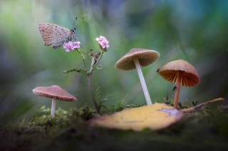 květina, makro, příroda, list, motýl, houby, mech, поганки, boke, Roberto Aldrovandi