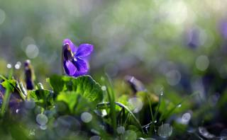 flower, grass, leaves, macro, nature, spring, bokeh, flora, violet, Неля Рачкова