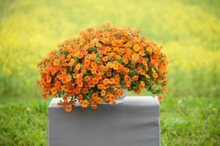 Петунья, květiny, oranžová