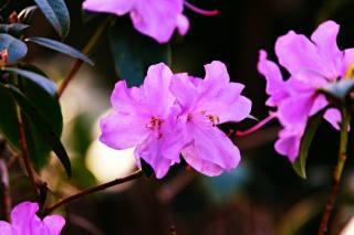 jaro, kvetoucí, růžová