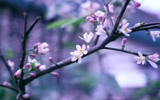 nature, spring, flowering, branch, flowers, buds