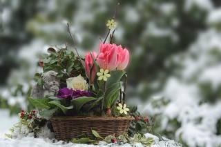 nature, spring, snow, basket, flowers, tulips, rose, Primula, angel