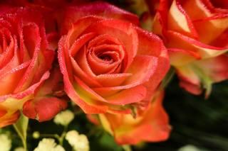 růže, růžová, okvětní lístky, květiny, kapky
