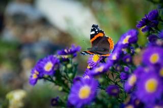 метелик, квіти, крила, макро, комаха