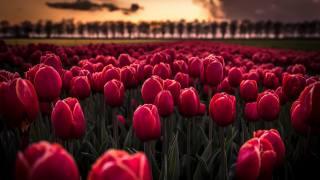 квіти, тюльпани, поле